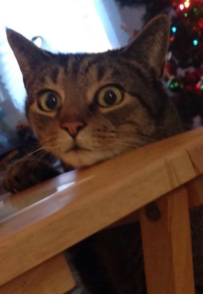 cat-caught-stealing-cinnamon-bun-percy-6