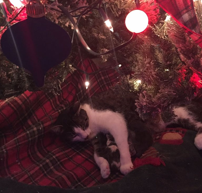 cat-gives-birth-under-christmas-tree-9