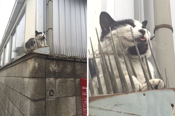Cats Building Resistance To Cat-deterrent Spikes