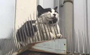 Cats Are Evolving! Scared People Are Sharing Pics Of Kittens Immune To Cat-Deterrent Spikes
