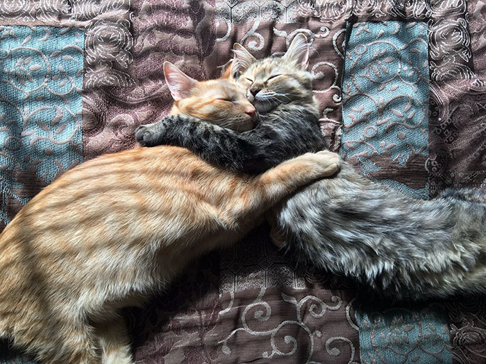 cats-kissing-in-love-louie-luna-5