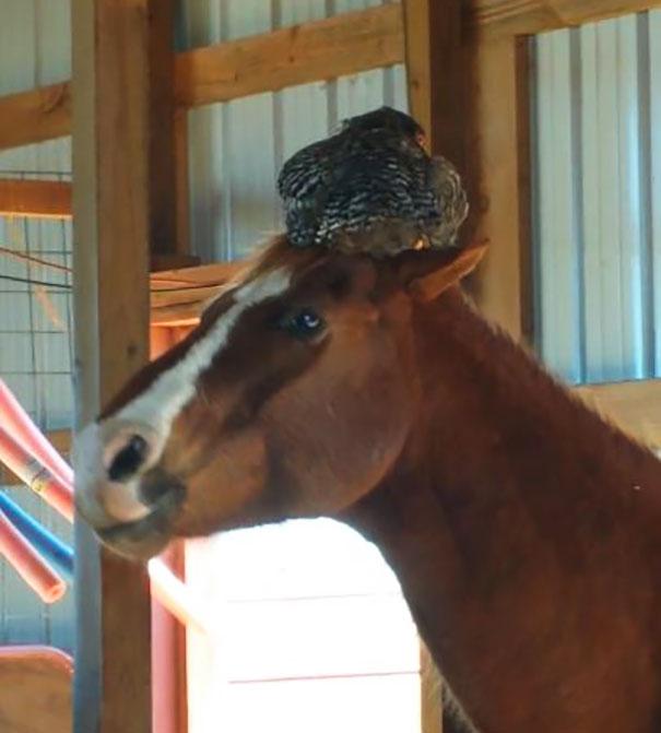 chicken-sleeping-horse-head-nancy-elwood-1a