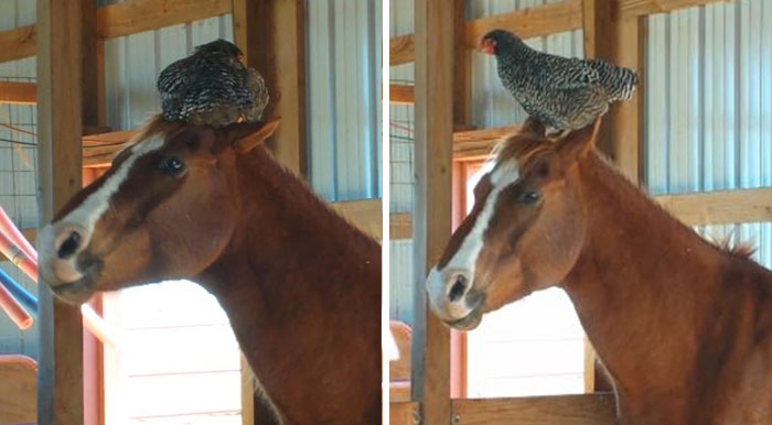 Woman Goes To Check On Her Horse In The Barn, Finds A Chicken Hilariously Sleeping On Its Head