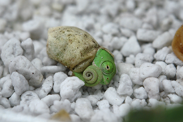 Baby Chameleon Opening His Eyes For The First Time