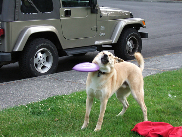 I Would Like To Show You The Exact Moment My Dog Decided He Was Done Playing Catch The Frisbee