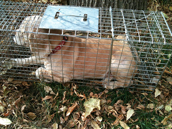 The Other Day My Dog Got Attacked By A Raccoon, So I Set Up A Trap. This Is What I Caught.