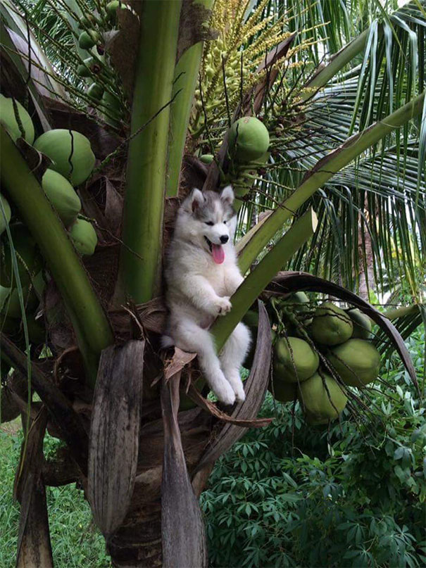 Husky Gets Stuck On Coconut Tree