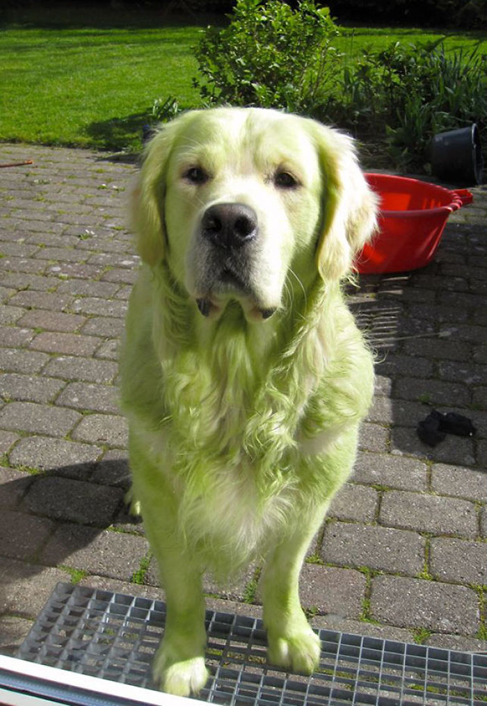 My Golden Retriever Decided To Roll On The Freshly Mowed Lawn. Hulk Dog!