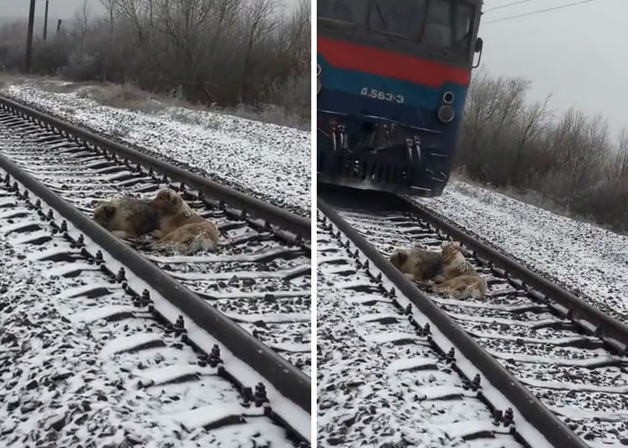 This Dog Was Too Injured To Move From A Moving Train, But His Brave Friend Came To Rescue Him