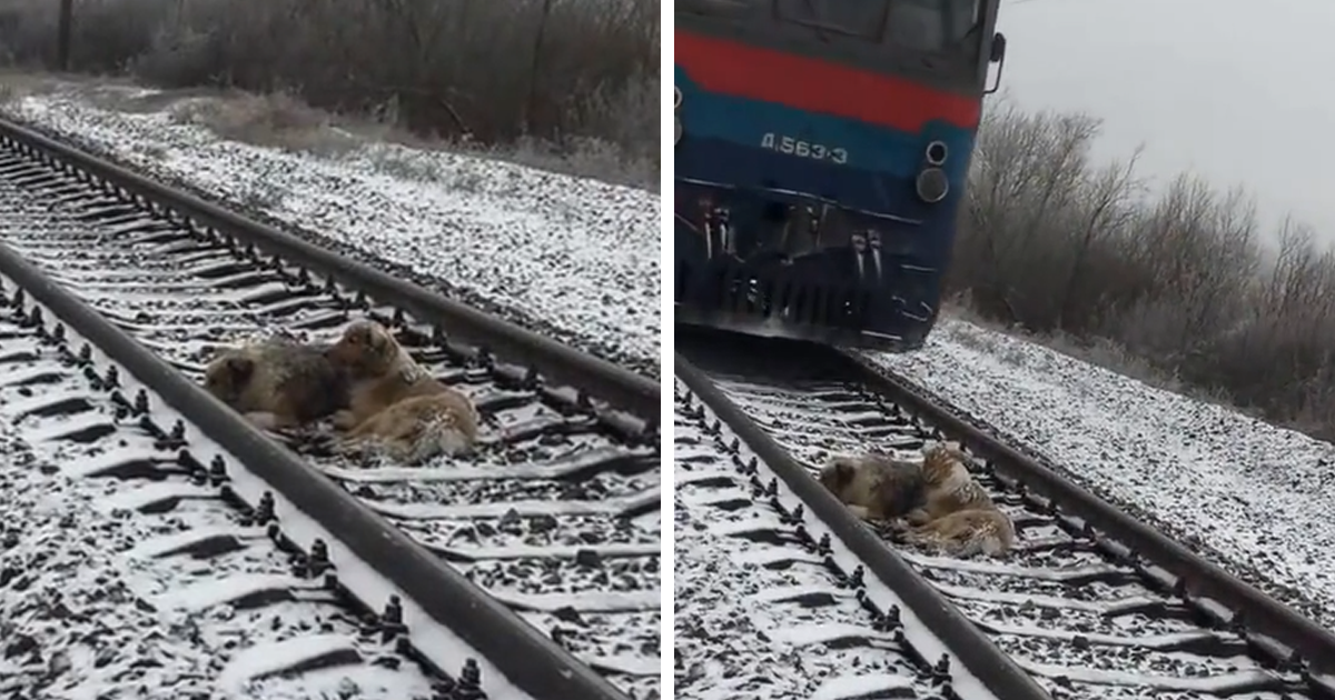 Levers Train Tracks O N : This dog was too injured to move from a moving train but