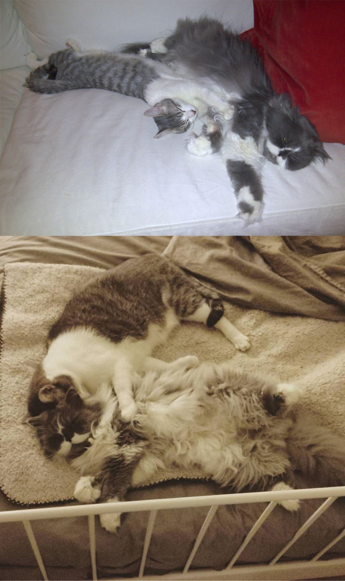 We Lost Fawkes (the Dollface Persian) 8 Days Ago Very Young, Him And His Younger Brother, Barney Were Cuddle Buddies For 6 Years.
