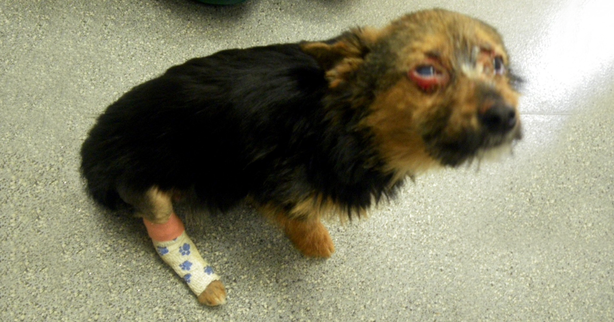 Teenagers Torture Dog By Breaking Legs And Setting Him On Fire, But He Survives And Still Loves People