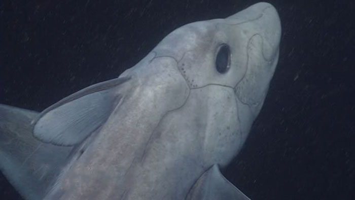 ghost-shark-chimaera-captured-first-time-1