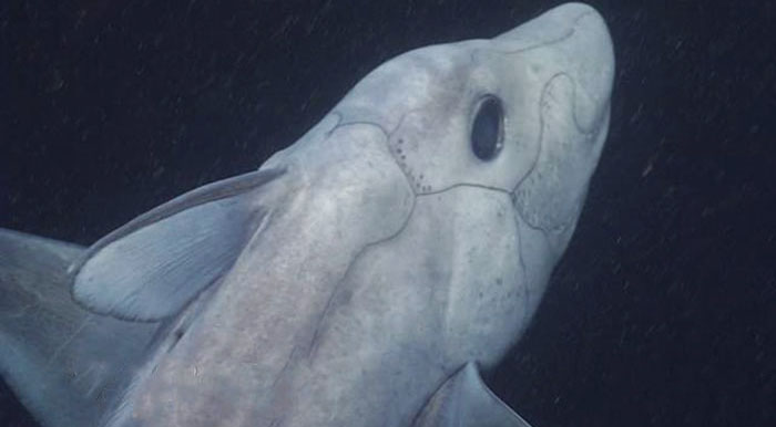 Ghost Shark Filmed On Camera For The First Time Has A Penis On His Head