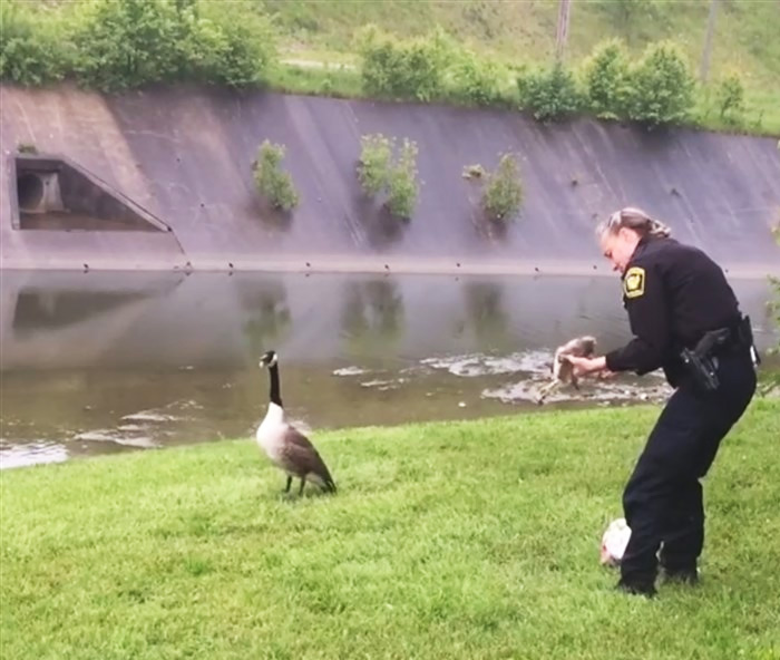 Mommy Goose Kept Pecking Cop Until He Decided To Follow Her…And Found Her Trapped Baby