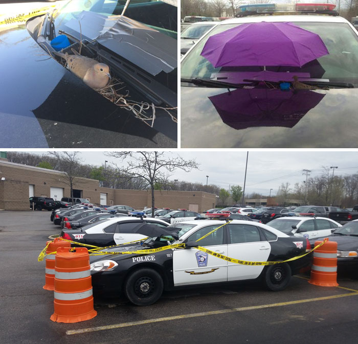 Bird Builds Her Nest On Police Car, The Cops Attach An Umbrella To The Windshield To Keep Her Safe From The Elements And Tape Off The Parking Spot So Nobody Bothers Her