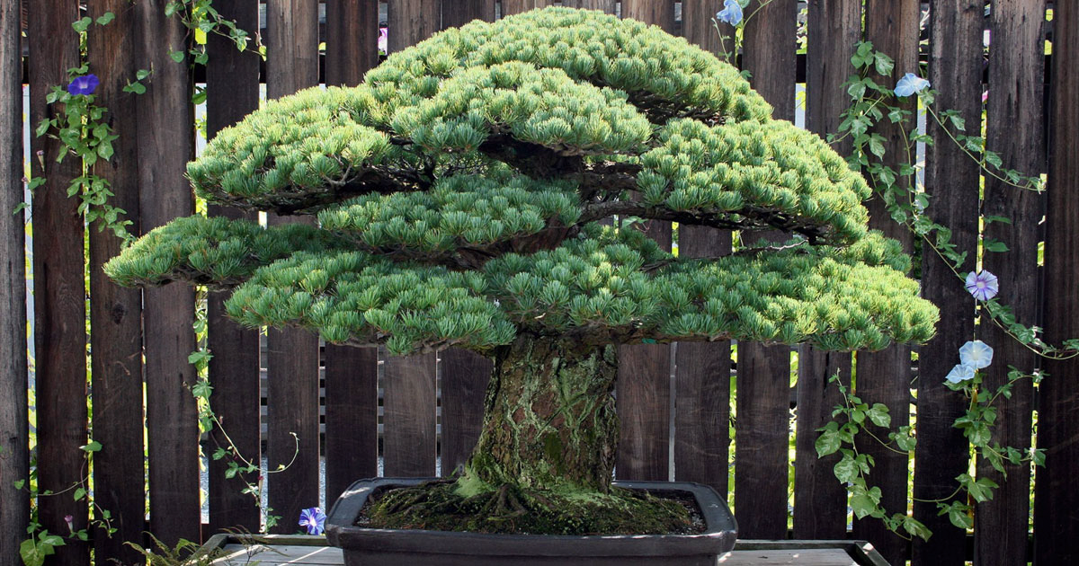 391-Year-Old Bonsai Tree Planted In 1625 Has Survived Hiroshima And Keeps On Growing