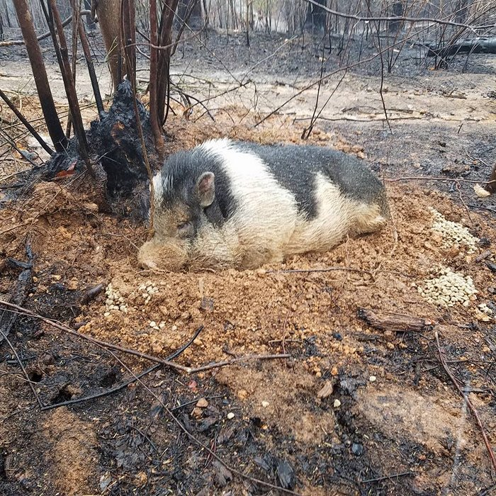 home-destroyed-wildfire-pig-charlie-7