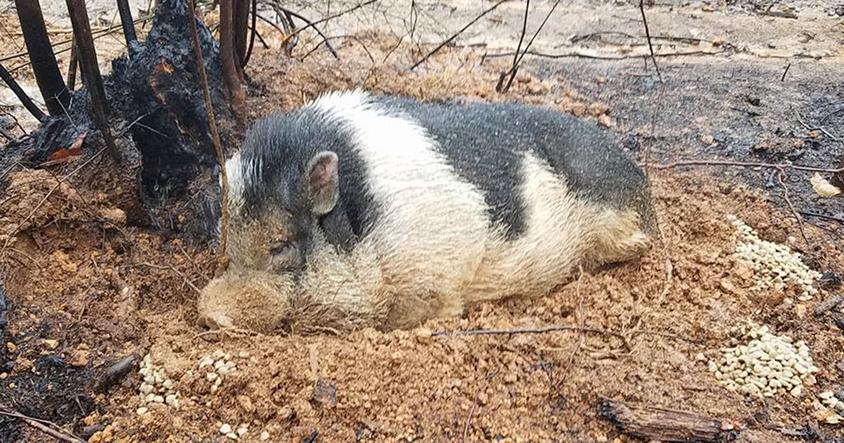 Family Devastated After Finding Their Home Destroyed By Wildfire, But Then See Their Pet Pig Waiting For Them