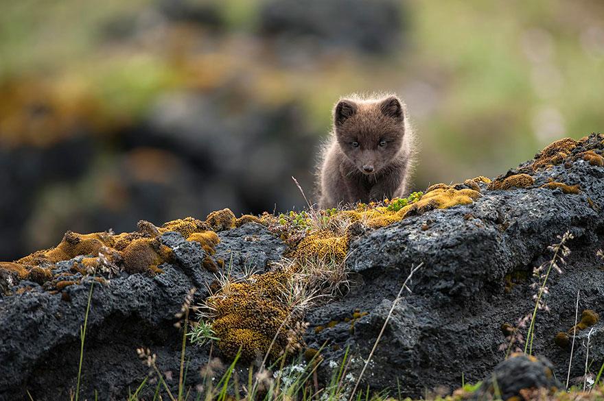 Wild Arctic Fox In Iceland