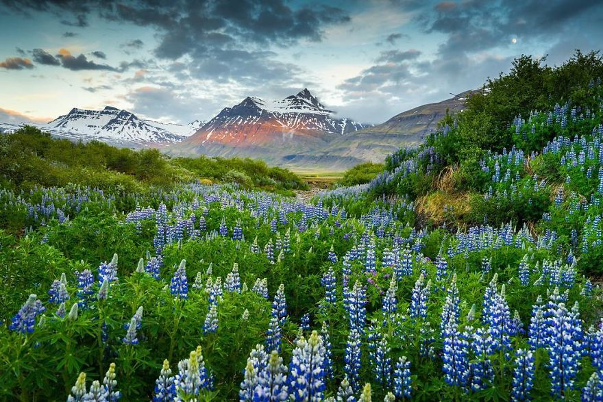Lost in Lupines
