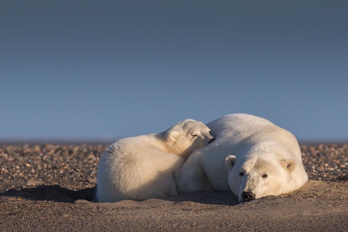 polar-bears-no-snow-photography-patty-waymire-alaska-4