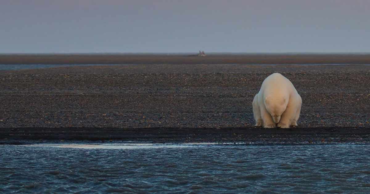 Woman Goes To Alaska To Photograph Polar Bears In Snow – But There's No Snow