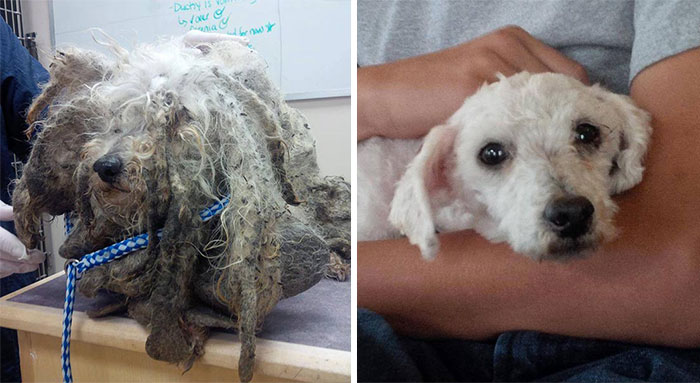Shrek Was Found Barely Moving, With Legs Covered In Sores And Fur Caked With Mud. After His Excess Hair Was Removed He Was Discovered To Be A 6-Year-Old Malti-Poo Dog