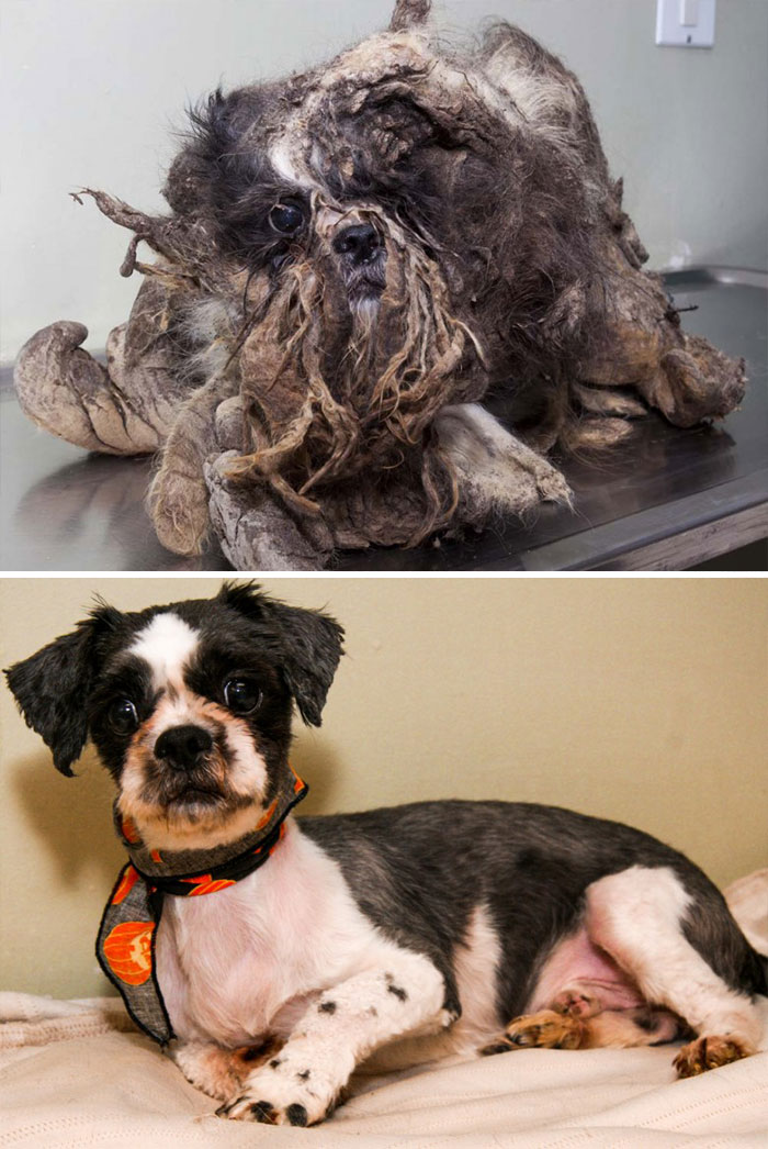 This Poor Guy Was Found In The Streets Of Montreal Looking So Filthy That It Was Hard To Tell That He Was Actually A Dog. But Look How Charming He Seems After His Cleanup