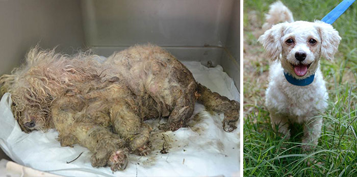 Treasure, A 2-Year-Old Female Purebred Miniature Poodle, Was Severely Neglected Before Being Spotted By A Passing Motorist Who Brought Her To The Natchez-Adams County Humane Society