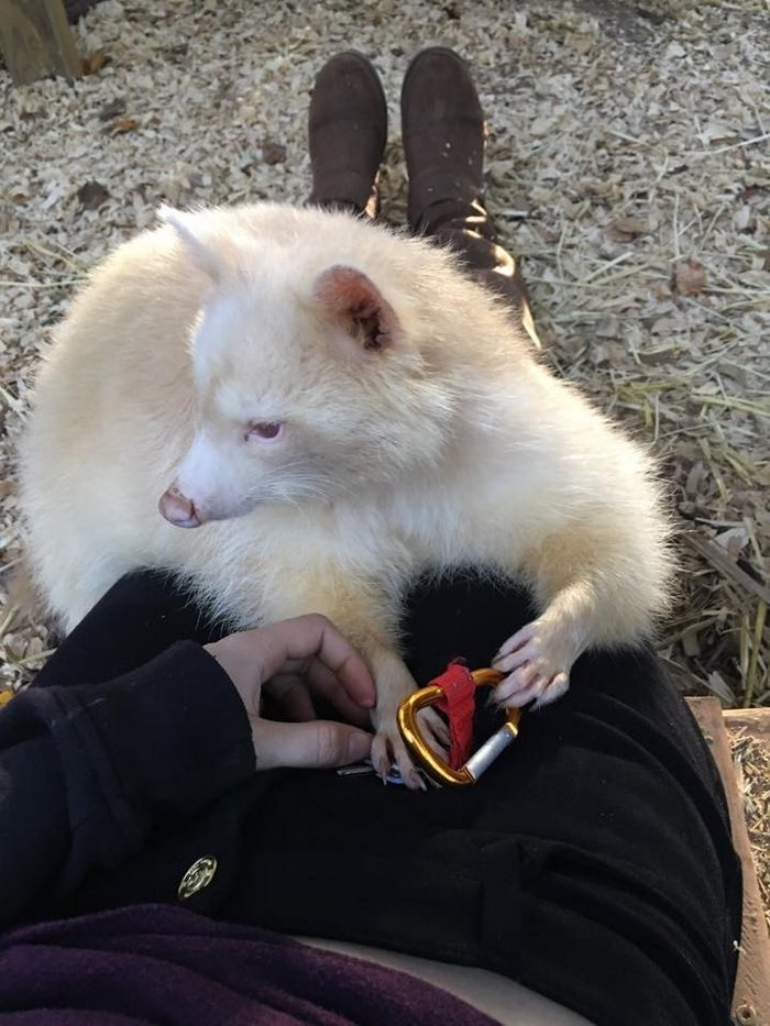 rescued-albino-raccoon-maxine-baird-new-hope-1