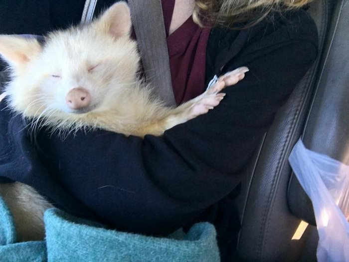 rescued-albino-raccoon-maxine-baird-new-hope-12