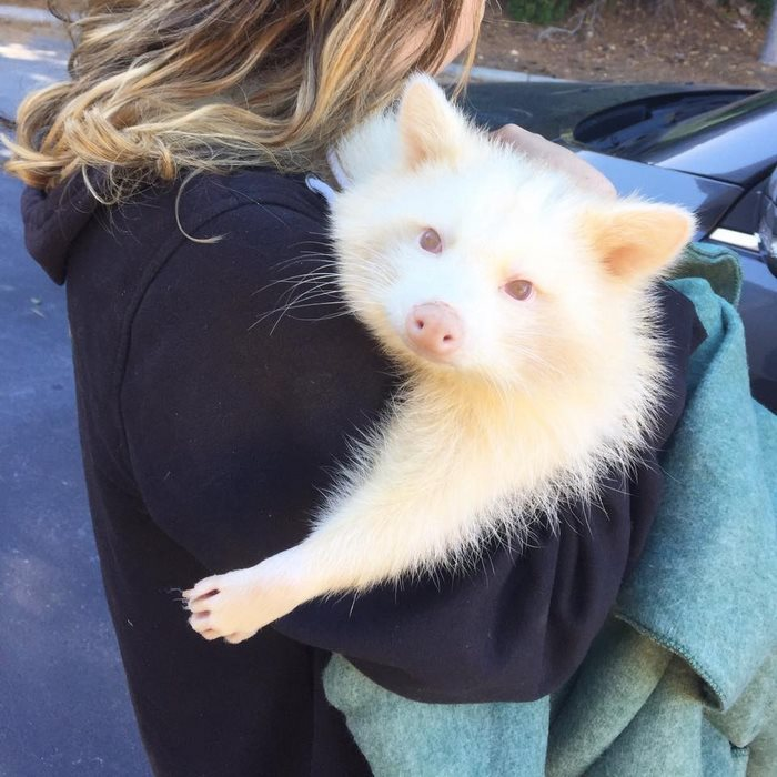 rescued-albino-raccoon-maxine-baird-new-hope-13