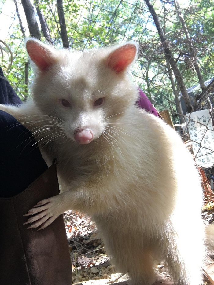rescued-albino-raccoon-maxine-baird-new-hope-2