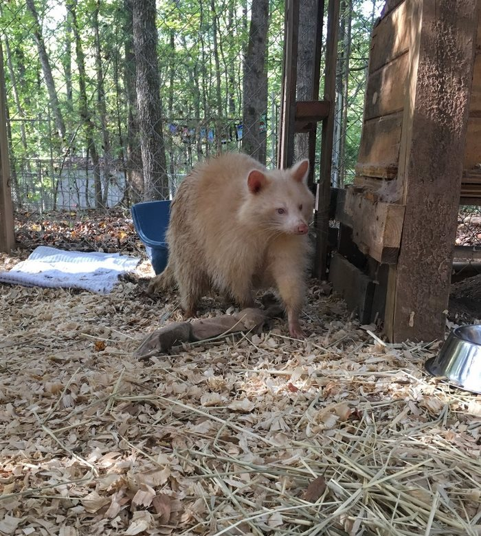 rescued-albino-raccoon-maxine-baird-new-hope-3