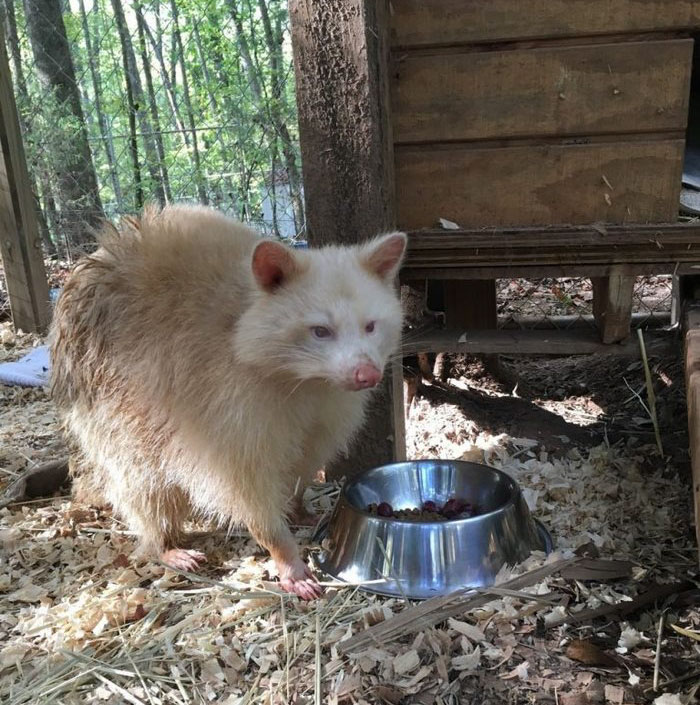 rescued-albino-raccoon-maxine-baird-new-hope-6a