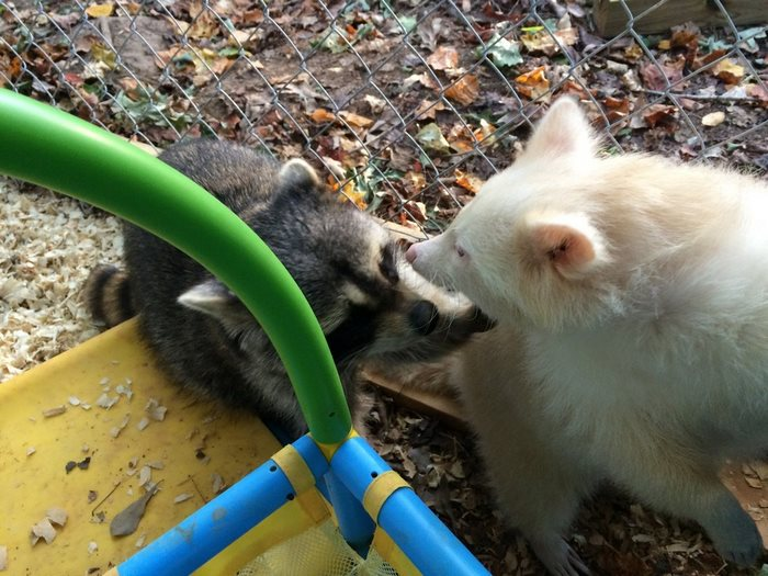 rescued-albino-raccoon-maxine-baird-new-hope-9
