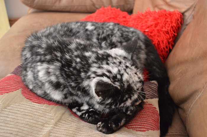 senior-black-white-cat-vitiligo-scrappy-1