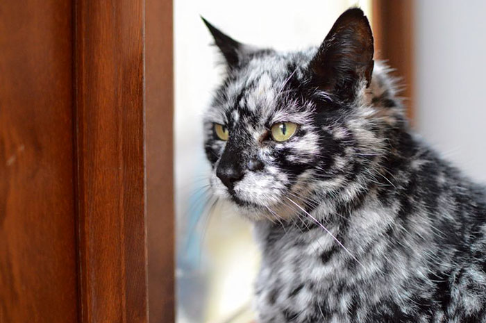 19 Year Old Black Cat Turns Into A Marble Beauty Most Likely Due To