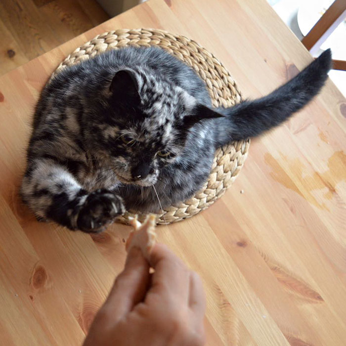 senior-black-white-cat-vitiligo-scrappy-3