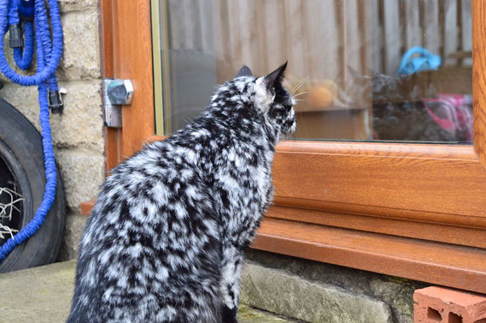 senior-black-white-cat-vitiligo-scrappy-4