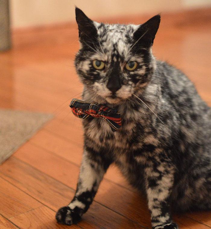 senior-black-white-cat-vitiligo-scrappy-8