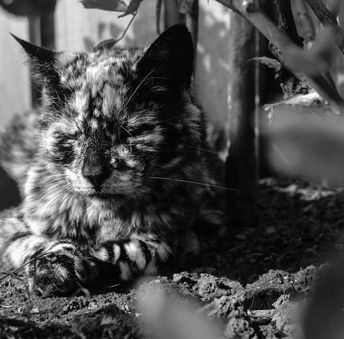 senior-black-white-cat-vitiligo-scrappy-9