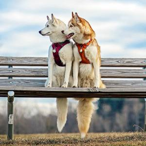 My Beautiful Huskies Helped Me Overcome Clinical Depression And Get On My Feet Again