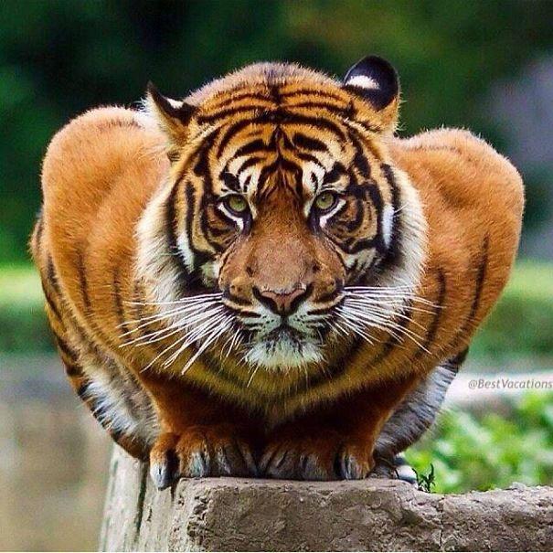 tiger-5849b846b0318.jpg