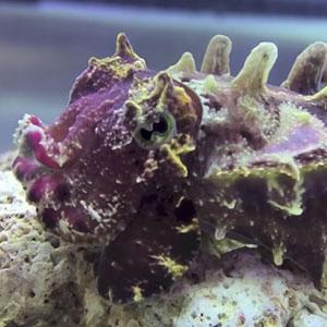 Tiny Underwater Hippos