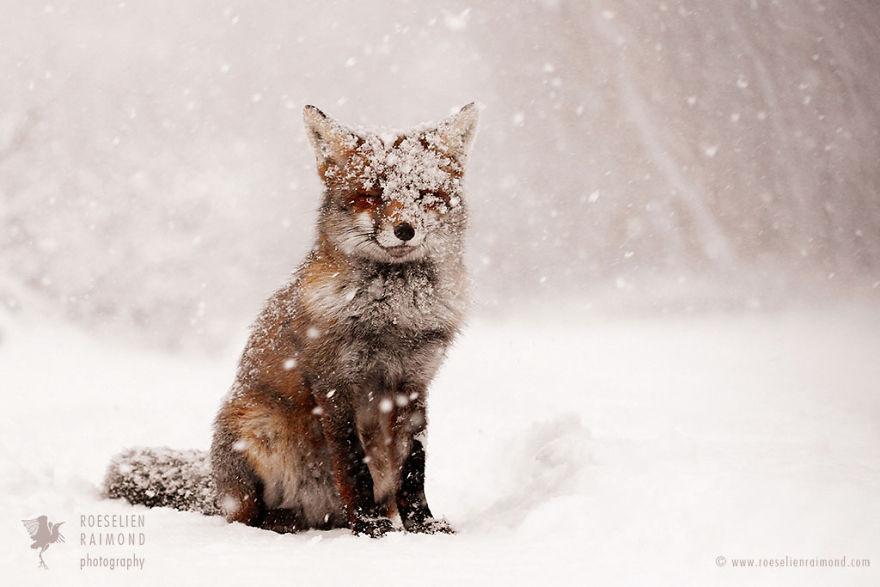 Très Foxy Christmas Fairytale By Dutch Photographer Roeselien Raimond  KQ21