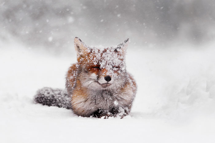 Foxy Christmas Fairytale By Dutch Photographer Roeselien Raimond