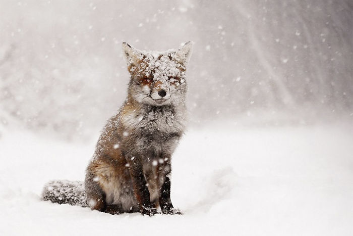 stunning winter fox photos make fall