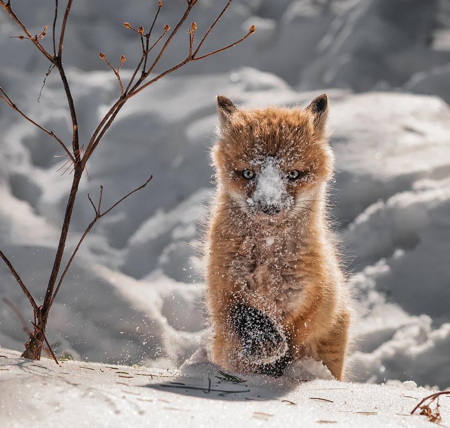 Winter Fox фотография